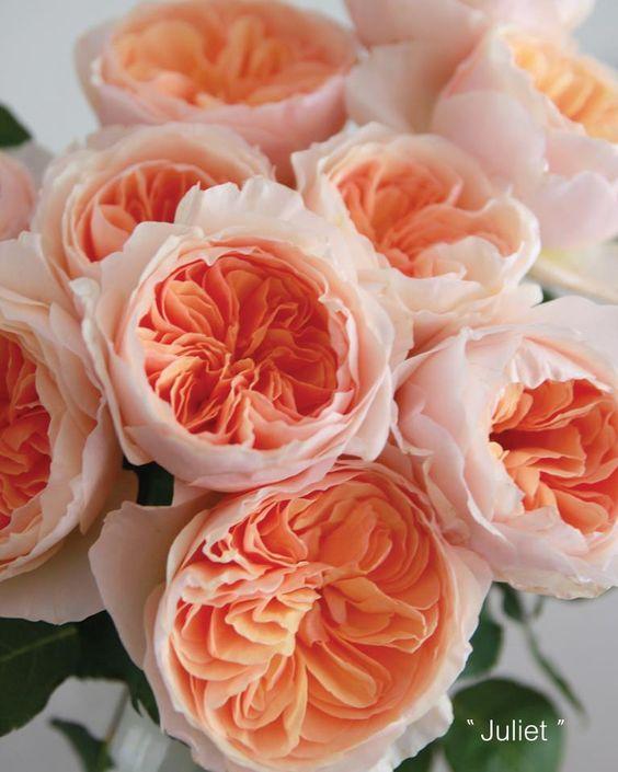 David Austin peach 'Juliet' garden roses ♥ Une belle option pour remplacer les pivoines si elles ne sont plus en saison à la mi-juillet...
