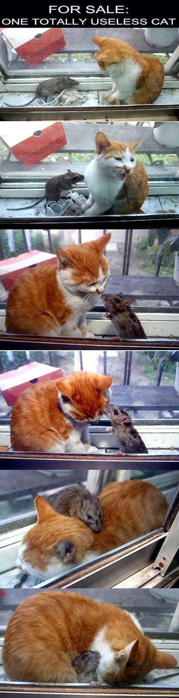 Aww    Compassionate kitteh!  This should be a cartoon. The cat treats this mouse better than Brain treated Pinky.  WAY  better.: