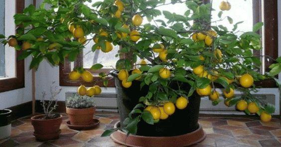 Comment faire pousser un arbre de citron dans votre maison