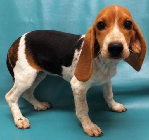 Morton Grove Il Beagle Basset Meet Shiloh A Dog For Adoption