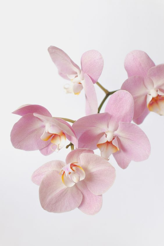 pink orchids close up