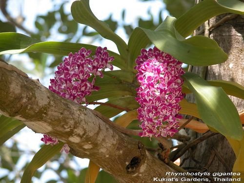 A type of Orchid - Rhynchostylis gigantea