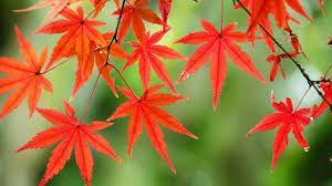 Resultado de imagen de arces japoneses en otoño