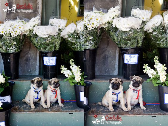 Pugs in the City