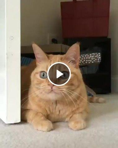 Veja como esse gato fica ao se preparar para atacar!
