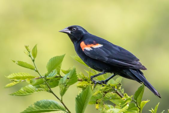 Red winged Blackbird - Red-winged Blackbird sitting in a tree