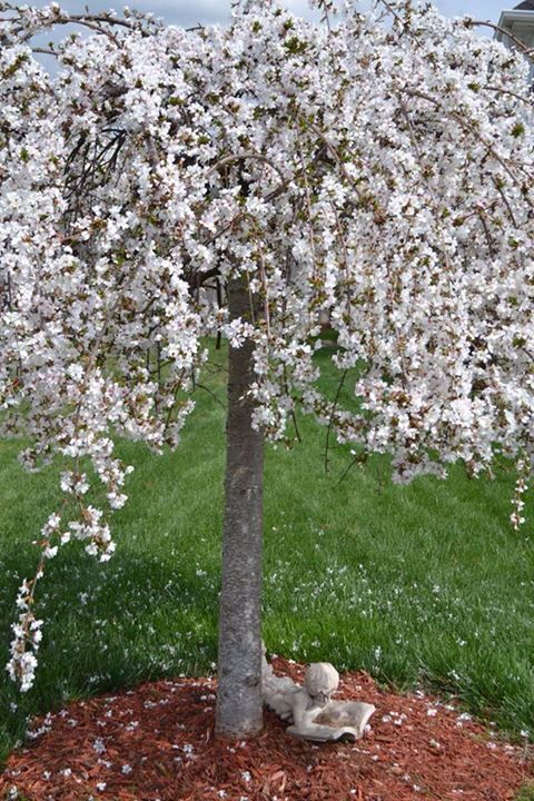 2015 snow fountain weeping cherry tree garden 2015 for Weeping trees for small gardens