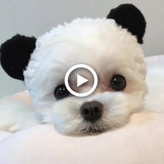 Observe o fofo cão panda