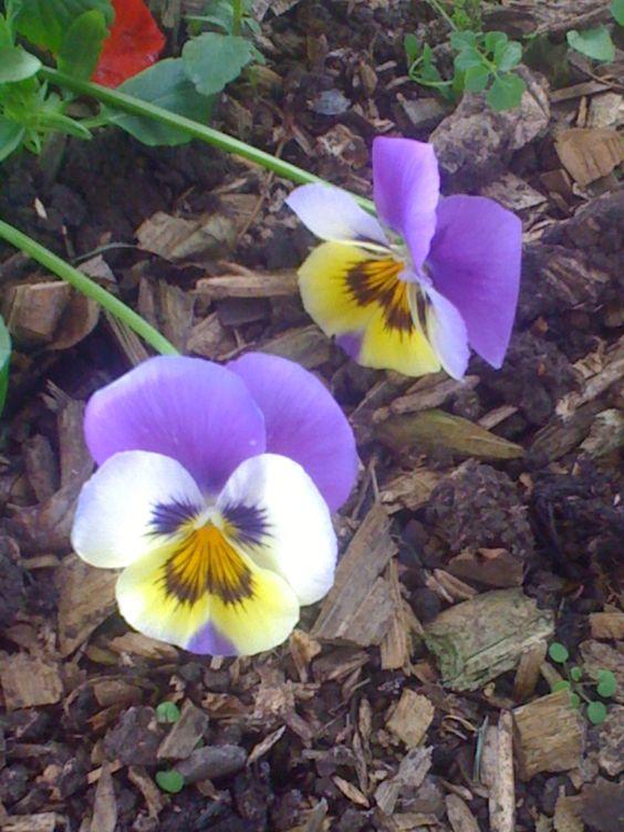 Name flower: Pensamiento