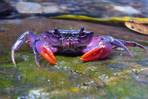 This purple colored crab photo released by Hendrik Freitag, of Germany's Senckenberg Museum of Zoology shows one of the four new species of freshwater crab found in remote areas of the Palawan island group. The tiny crustaceans were found in streams in remote areas of  Palawan in the Philippines.