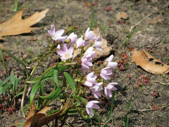 Tiny purple and white flowers growing on the bare forest floor near fallen leaves get blown by the wind on a breezy spring day in northern Ohio.
