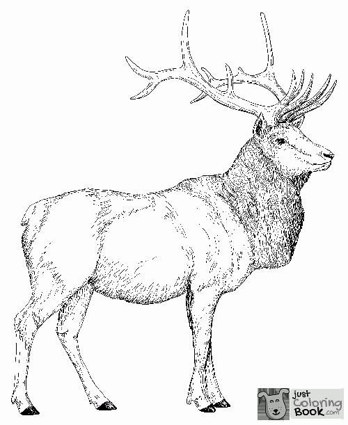 Free Printable Elk Coloring Pages Coloring Home Throughout Eurasia