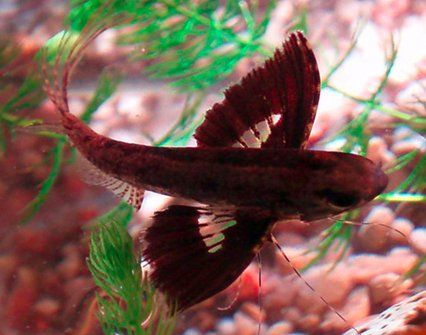 """The Butterfly fish, maximum 12cm/4.7"""", calm waters and mid-sized tank mates, congo tetra recommended, calm water"""