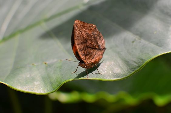"""""""Dead leaf"""" butterfly. Credit to tiltowait of reddit"""