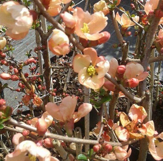 membrillo japonés rosa o chaenomeles