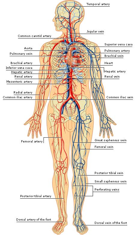 Gallery For gt Veins Of The Body Model