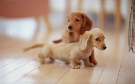 Aww / Just a baby daschund puppy with his big brother behind him...