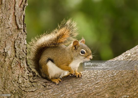 Small red-tailed squirrel that usually lives in pine trees. Also known as tree- squirrel. Aggressive in defending their territory.
