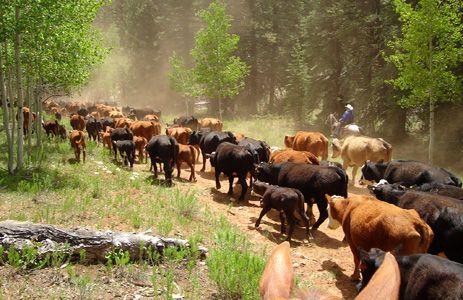 Participez à un convoyage de bétail authentique dans le Grand Ouest américain, en compagnie de véritables cowboys. Au ryhtme du bétail, à cheval aux Etats-Unis, vous descendez les contreforts de Bryce Canyon jusqu'au Gran