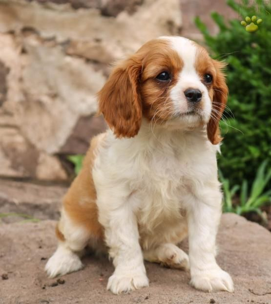 Honey Bee Cavalier King Charles Spaniel Puppy For Sale In East