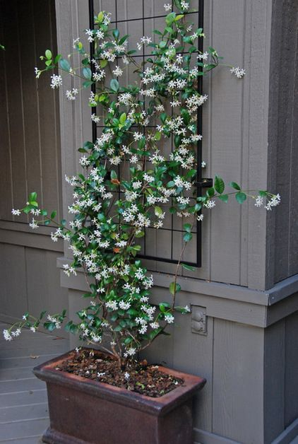 Star jasmine. The hardy, low-maintenance climber star jasmine (Trachelospermum jasminoides) is well behaved. It has glossy dark green leaves and, from midspring to late summer, is covered in deliciously scented white flowers. Star jasmine is tolerant of light to medium frost.