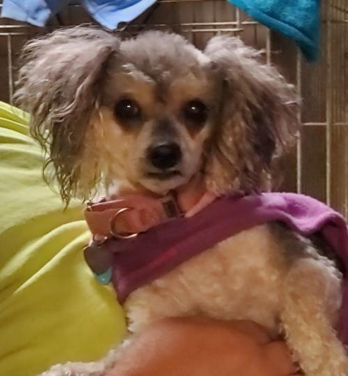 Adopt Gi Gi Adopted On Poodle Mix Dogs Poodle Mix Alpha Dog