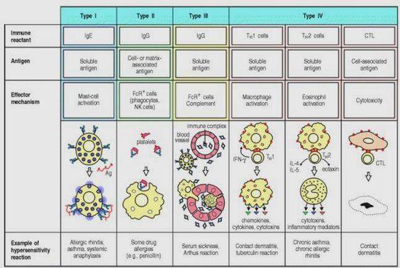 Hypersensitivity. http://intranet.tdmu.edu.ua/data/kafedra/internal/meds/classes_stud/en/stomat/lik/ptn/clinical%20immunology/5/2.The%20immunological%20aspects%20of%20autoimmune%20diseases.files/image004.jpg