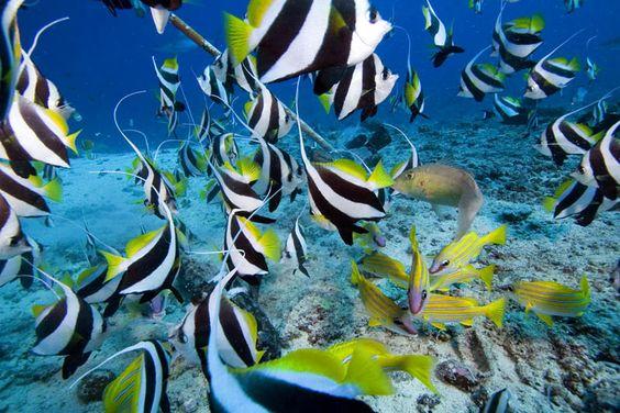 Schooling bannerfish, Fiji