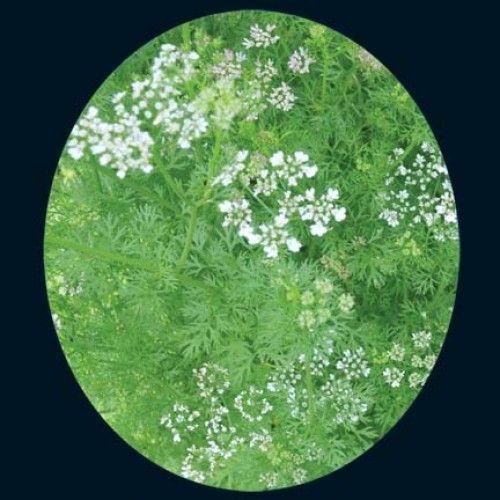 Cilantro, Slo-bolt. 2013 test; have always struggled with cilantro, but love having my backyard full of the herbs I enjoy!