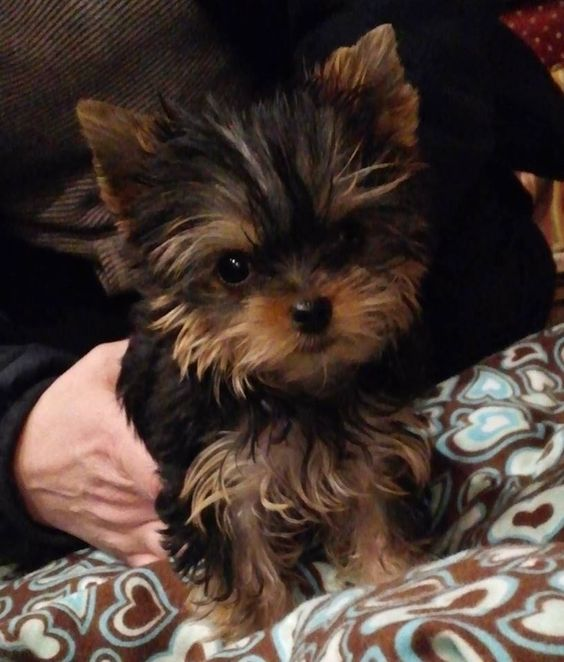 yorkie puppies for sale in michigan priceless yorkie puppy michigan breeder specializing in 3356