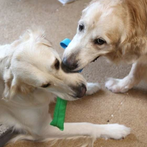 同居犬が旅立ち犬が仲間ロスになった話 飼い主が見た体験談 いぬのきもちweb Magazine 犬 いぬ イヌ