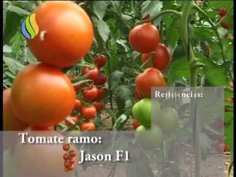 Spot Tomate Jason F1 Youtube Semillas Tomate