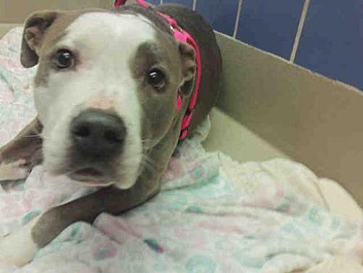 Austin Tx Staffordshire Bull Terrier Meet Daisy A Dog For Adoption Pets Animals I Love Dogs