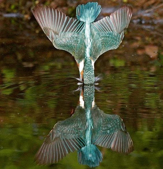 . Photography by @ (Paul Sawer). Kingfisher Dive. #Wildlife #Kingfisher #Water #Reflection #Nature #Moment #Bird by wildlife.hd