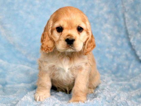 Cocker Spaniel Puppy For Sale In Mount Joy Pa Adn 60314 On Puppyfinder Com Gender Male Age Spaniel Puppies For Sale Cocker Spaniel Puppies Spaniel Puppies