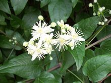 Order:Ranunculales Family:Ranunculaceae Subfamily:Ranunculoideae Tribe:Anemoneae Genus:Clematis.   Wikipedia, the free encyclopedia