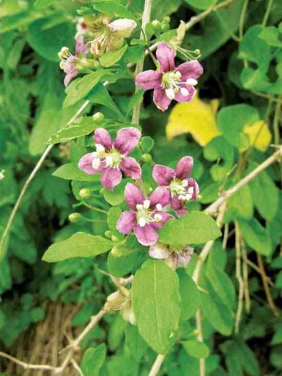 Grow Goji Berries Plant Profiles Heirloom Gardener Growing