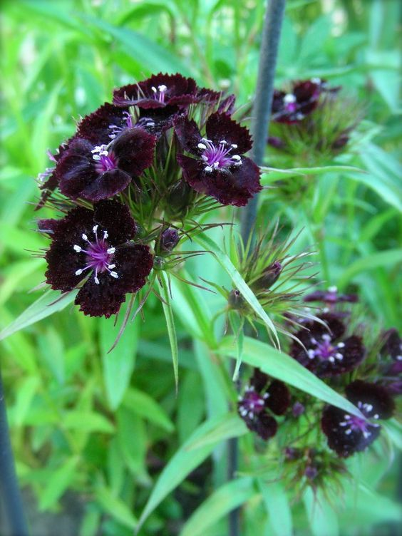 Sweet William 'Sooty' (Dianthus barbatus)