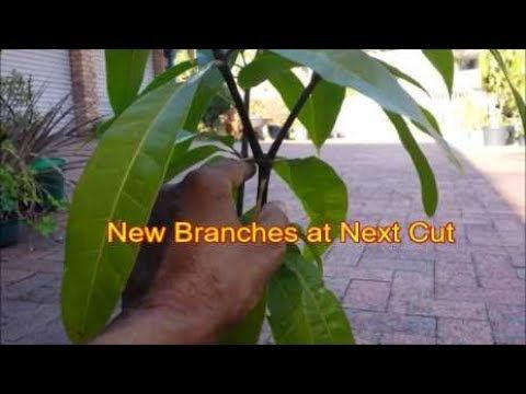 The Video Shows The Correct Technique Of Pruning And Training A Mango Tree To Keep It Small And Compact Learn The Pruning Fruit Trees Mango Tree Tree Pruning