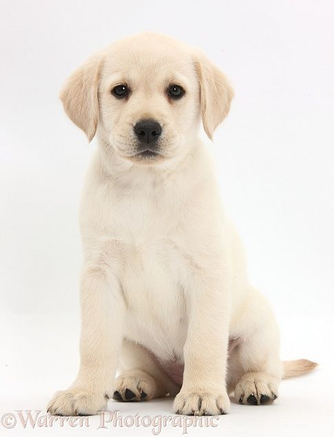Yellow Labrador Retriever Puppy 8 Weeks Old Sitting White