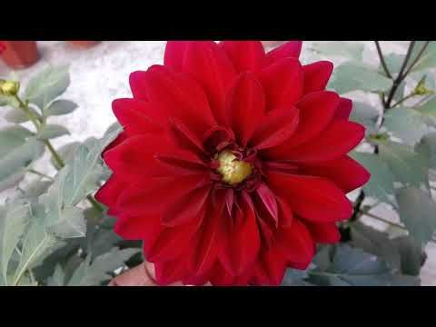 77 Winter Flower Most Popular Plant Dahlia Grow N Care Hindi Urdu Youtube In 2020 Winter Flowers Flowers Plants