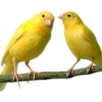 canaries - Google Search