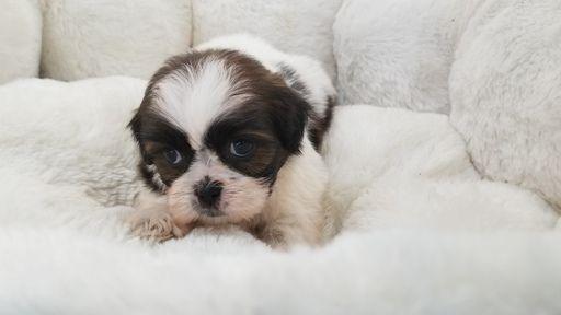 Shih Tzu Puppy For Sale In La Mirada Ca Adn 62042 On Puppyfinder
