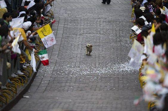 A foto foi registrada no México. O caminho era para a passagem do Papa, em uma de suas visitas ao país. O pequeno cachorrinho roubou a cena quando passou calmamente pelo corredor olhando para as pessoas. A impressão foi de que ele pensou que a festa era pra ele! www.jornalciencia.com