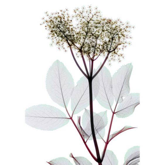 Flor de Sauco - Rayos X