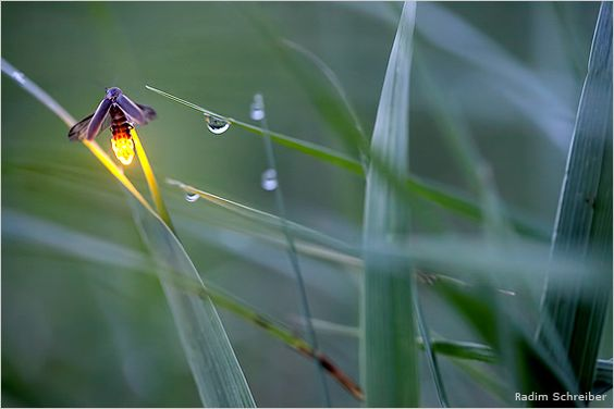 Lightening bug - one of the 2011 National Wildlife Photo Contest Winners:
