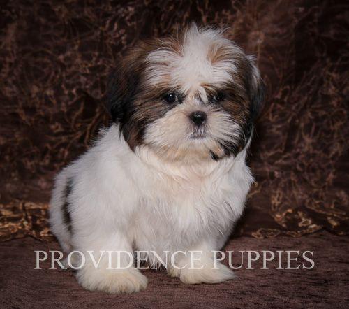 Shih Tzu Puppy For Sale In Wayland Ia Usa Adn 70772 On