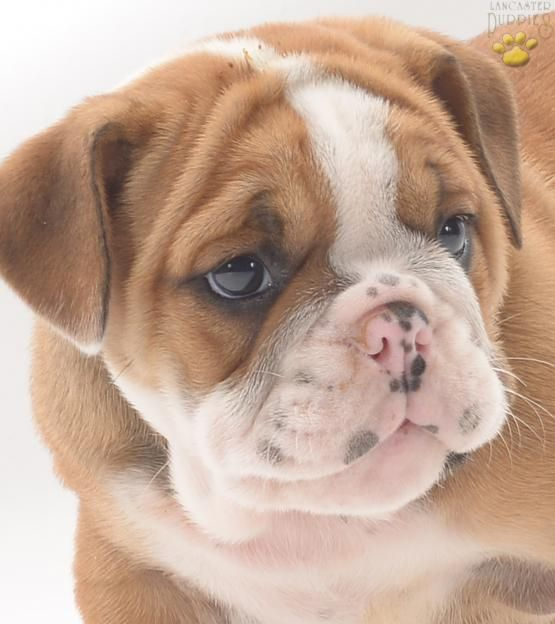 The Teacup French Bulldog Everything You Need To Know About