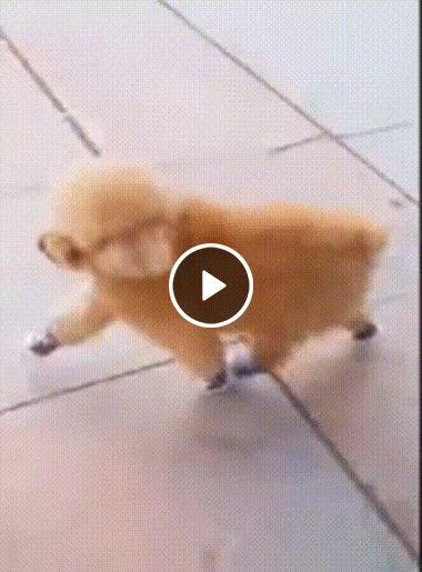 Existe gato de botas e o cão de sapatos, mas ele não gostou da ideia