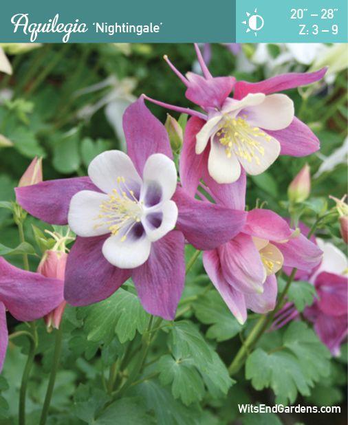 Aquilegia Nightingale Pollination Perennial Garden Perennials